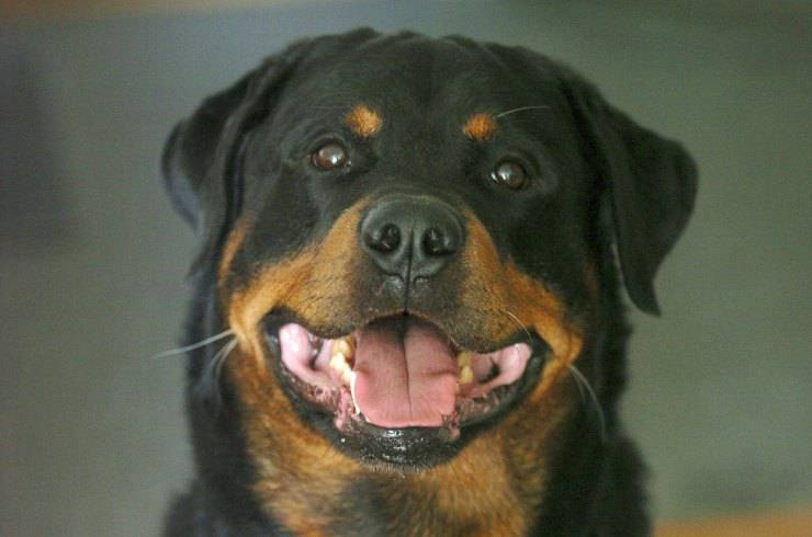 large breed dog