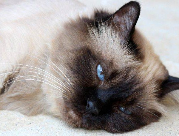Mast Cell Tumors in Cats – Cause   Symptoms   treatment