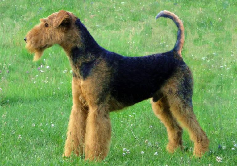 Airedale: the king of terriers