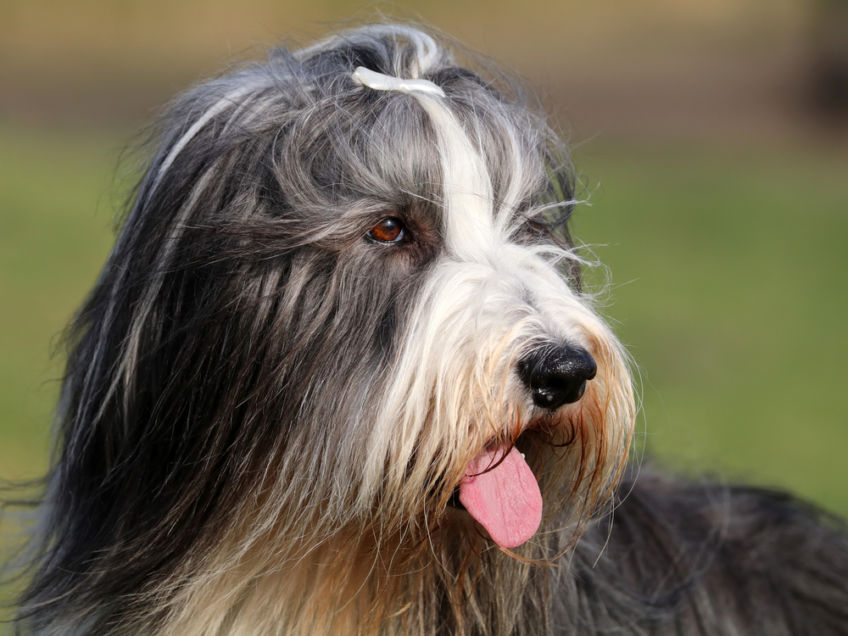 Portrait of a Bearded Collie
