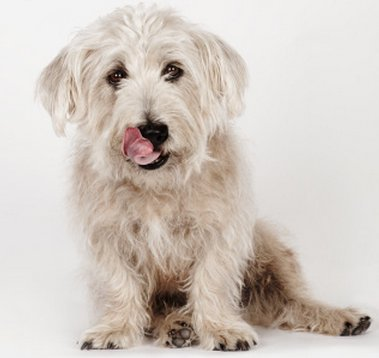Balanoposthitis in dogs: symptoms, diagnosis and treatment