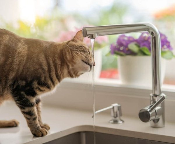 Do Cats Really Love Cold Water – Cat licking water