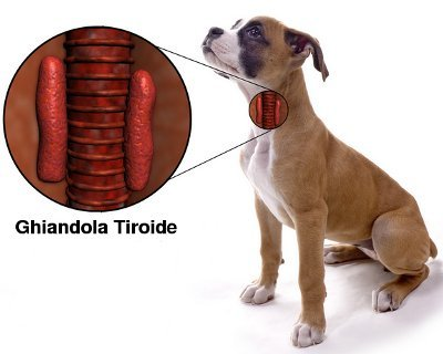 Hypothyroidism in dogs: causes, symptoms, diagnosis and treatment