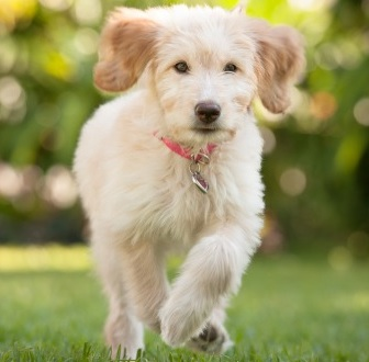 Pancreatic hypoplasia in dogs: symptoms, risks and management