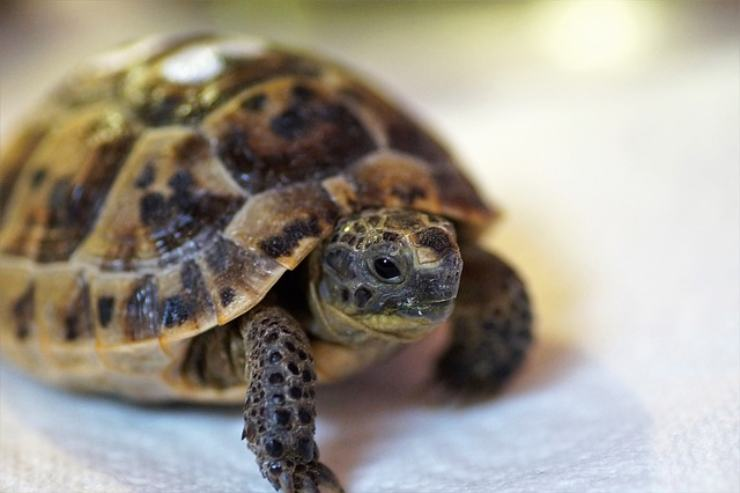 post hibernation anorexia in the turtle