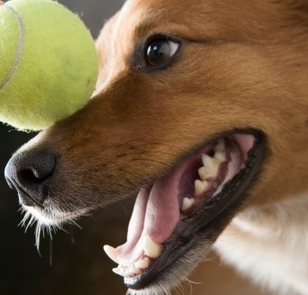 Stomatitis in dogs: symptoms, diagnosis and treatment
