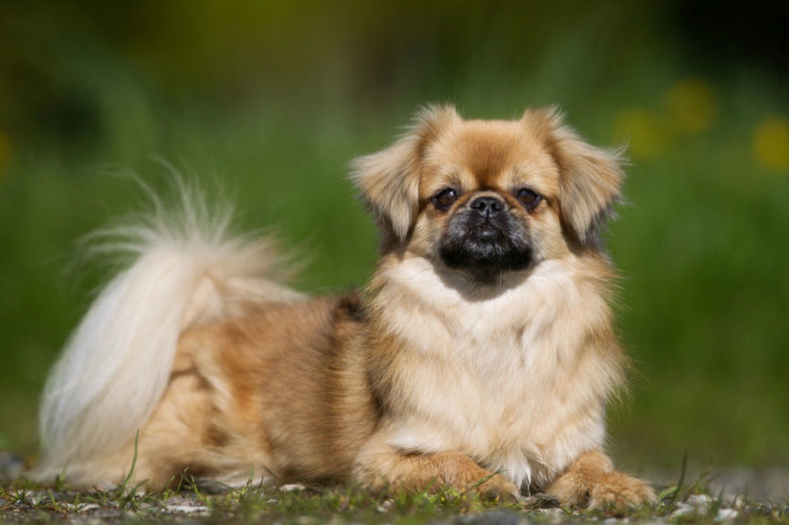 TIBETAN SPANIEL- Facts Height Origin Weight Size