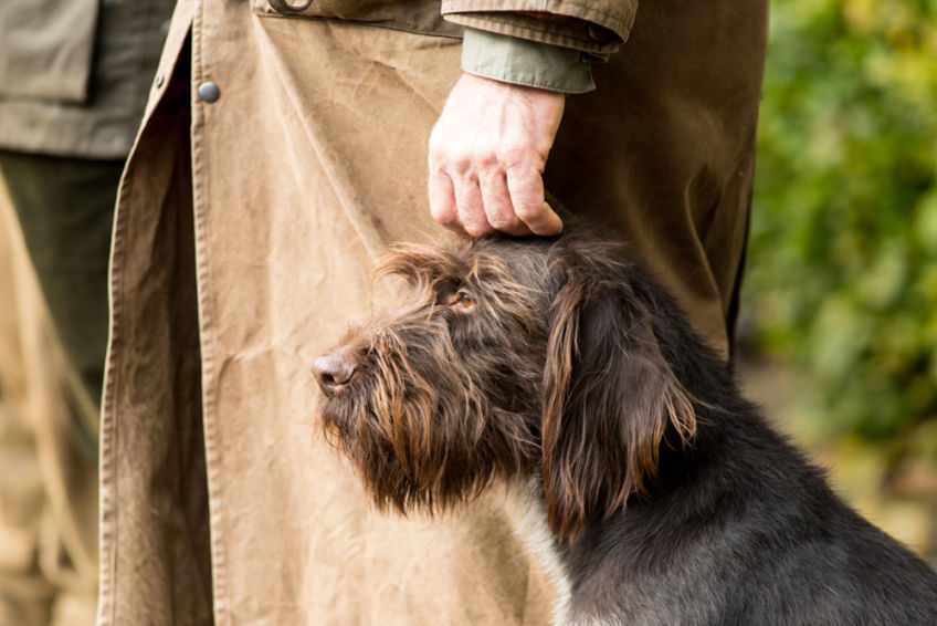 The German wirehaired pointer is a large, elegant, medium-sized hunting dog. Gifted with a great sense of smell, with a strong hunting drive. He is intelligent and a bit stubborn. Very active and durable.