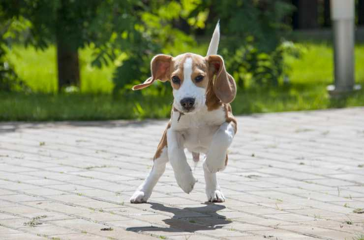 The beagle that runs Facebook happy