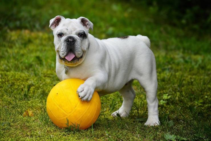 bulldog ball dog