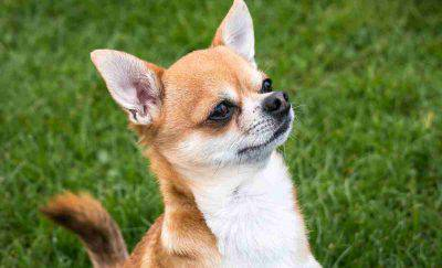 Chihuahua attentive (Pixabay Photo)