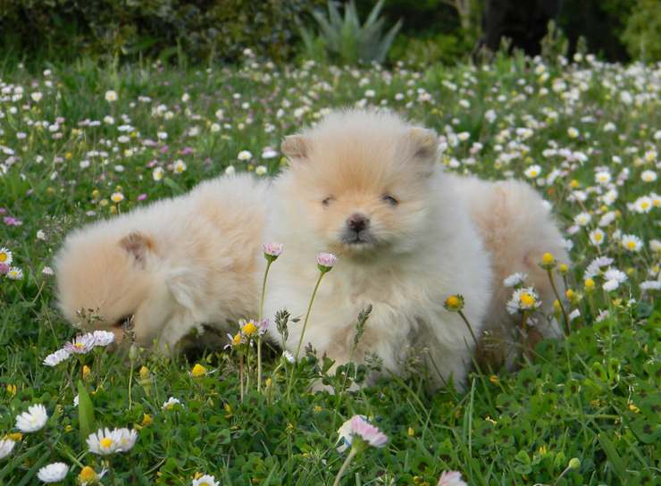 toy dog ​​puppies
