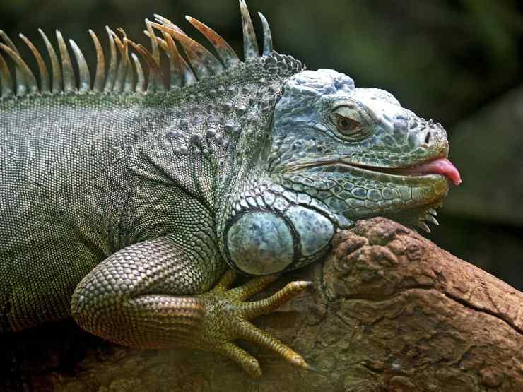 iguanas reptiles