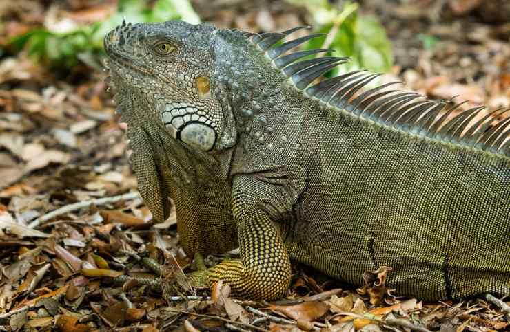 what iguana eats