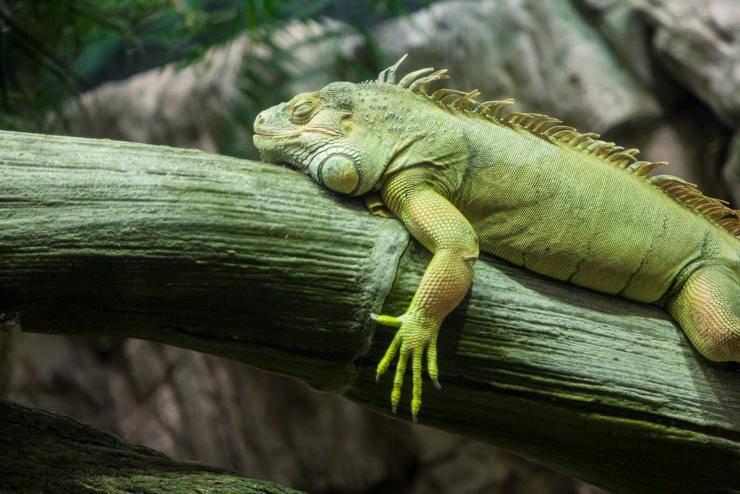 feeding diet iguana can eat meat