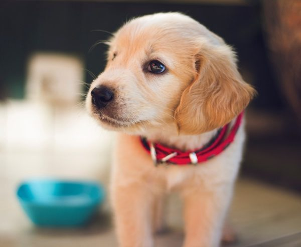 Can the dog eat homogenized food? Risks and benefits