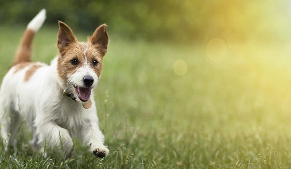 Dog Tail Wagging Left vs right: what does It tell us