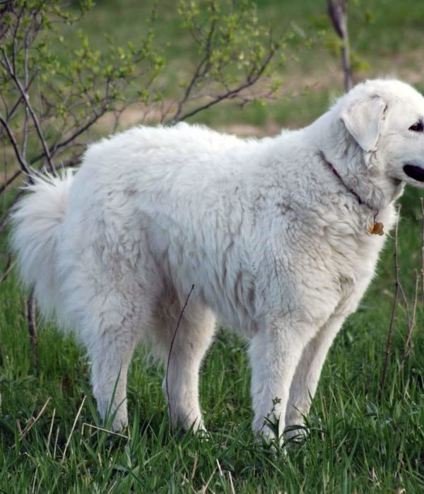 KUVASZ HUNGARY – Facts | Weight | Height |Breed