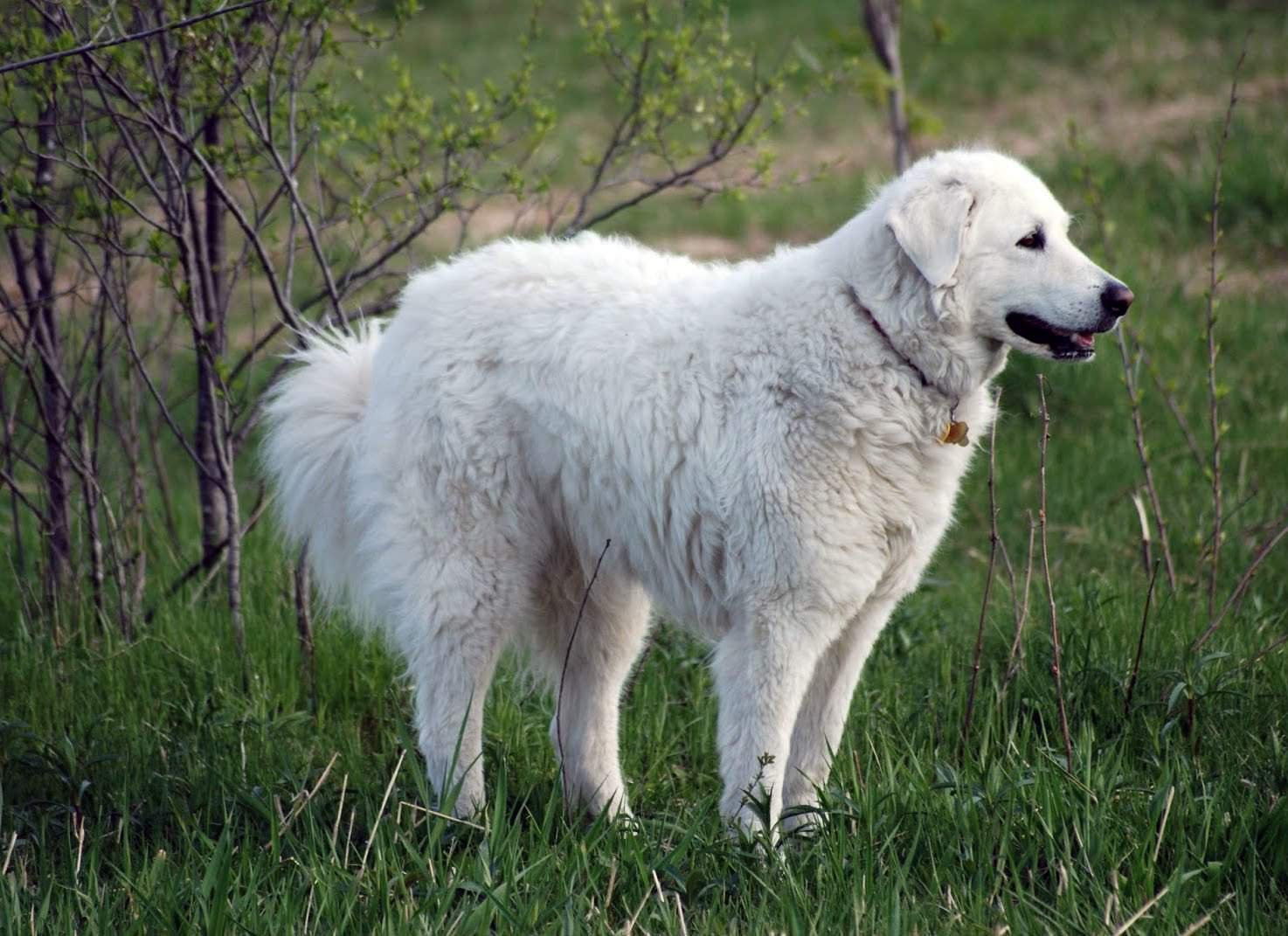 KUVASZ (KUVASZ HUNGARY) - Dog breeds