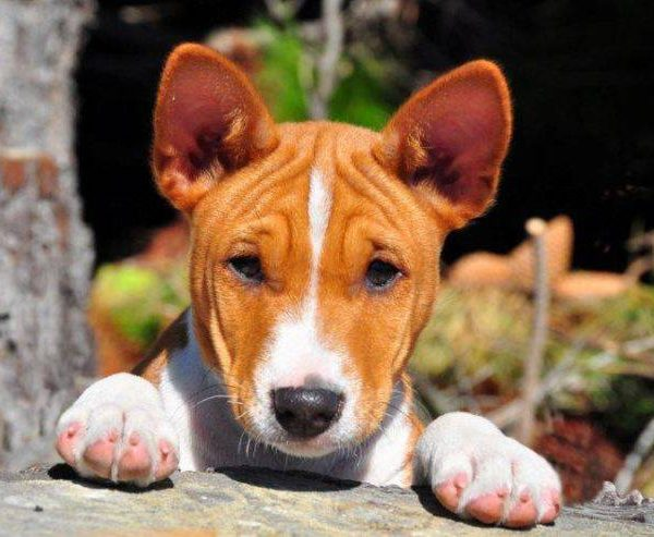Top 5 Of 10 Hardest Dogs to Train – Most stubborn  breeds