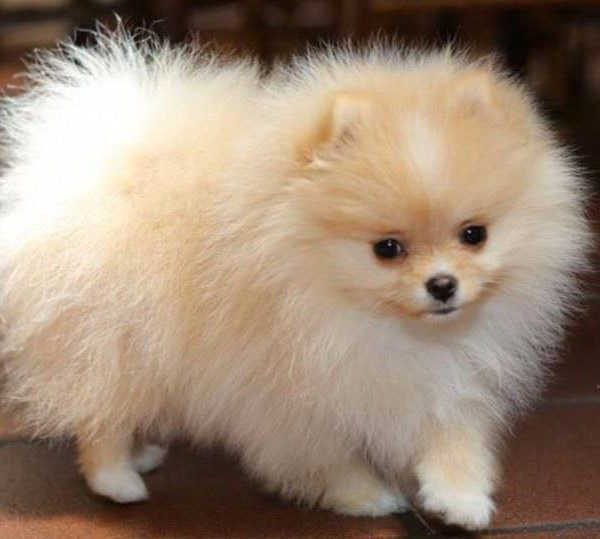 Toy Dog Breed: Pros and Cons of having a Toy Breed dog