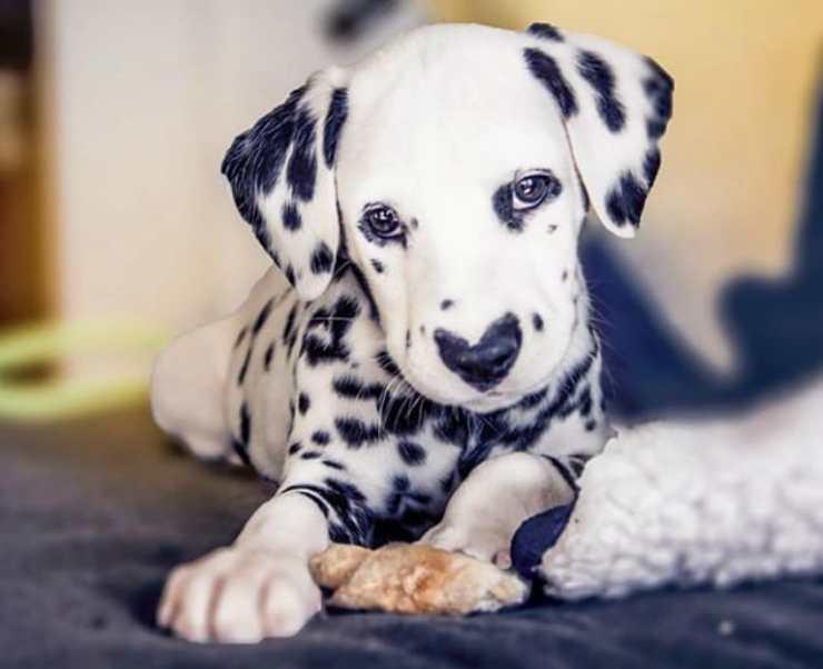 Expressive Dalmatian Facebook