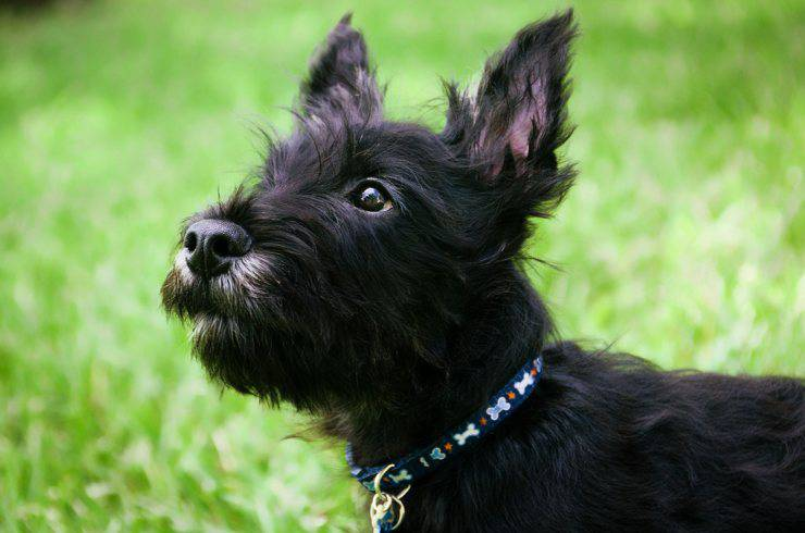 Scottish black dog