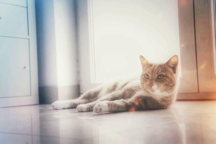 Cat in heat