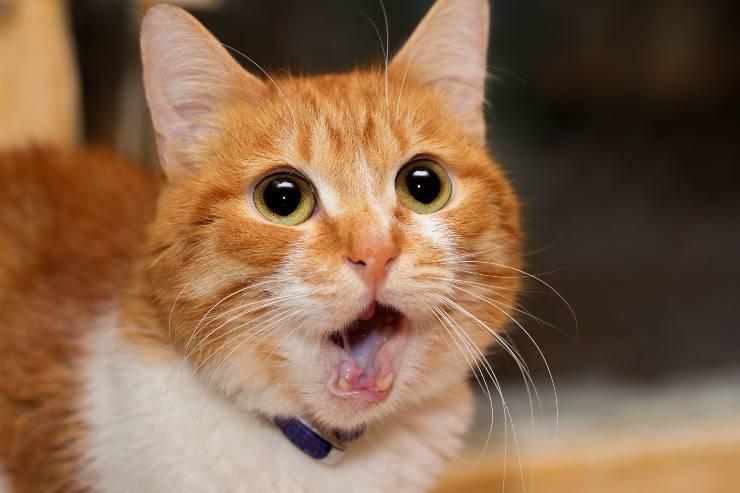 shock symptoms in the cat