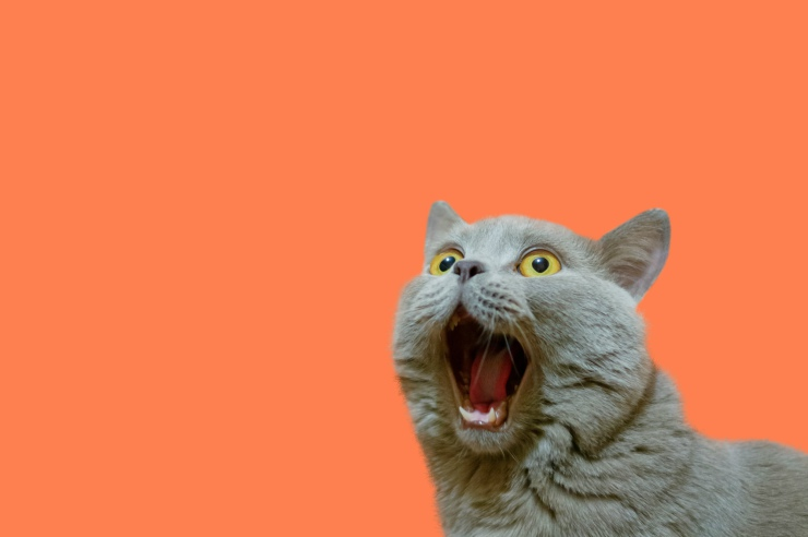 Open-mouthed cat