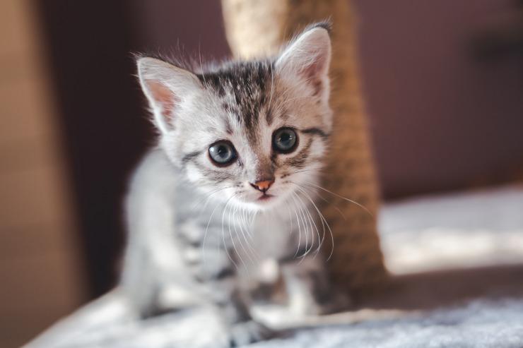 adobestock kitten