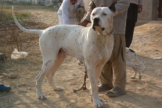 The world's largest dogs are bully kutta