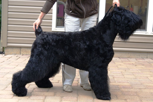 world's largest dogs Russian terrier
