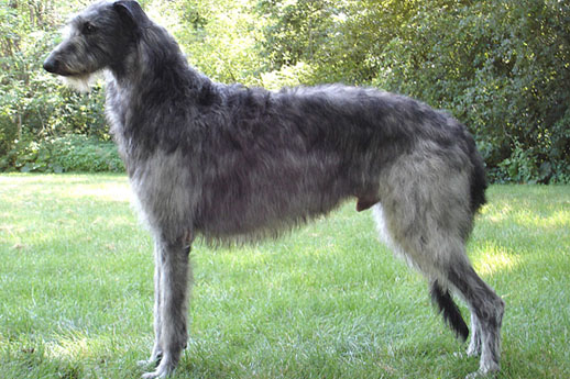 The largest dogs in the world are Scottish Greyhounds