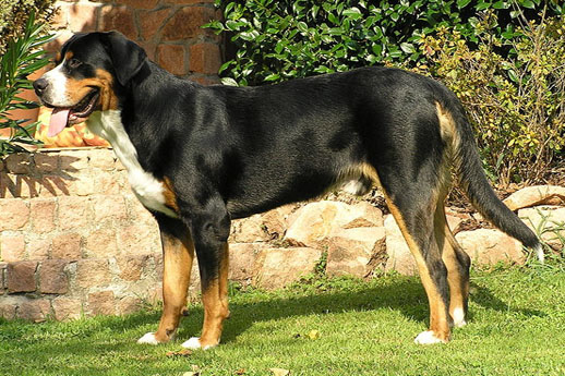 The world's largest dogs. Swiss shepherd dog