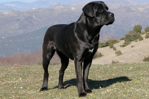 the biggest dogs in the world cane corso