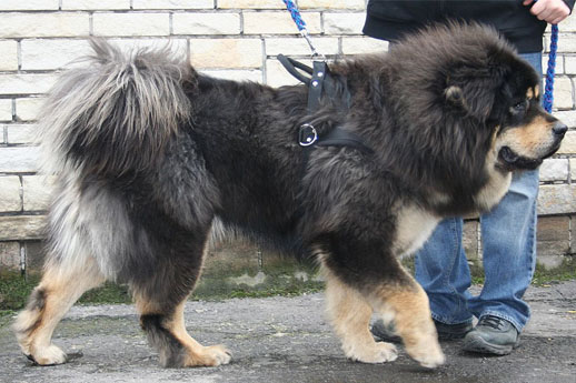 the largest dogs of the world tibetan mastiff