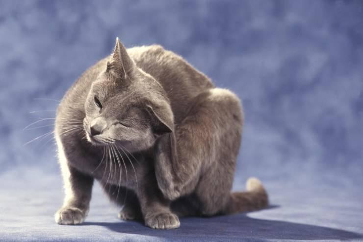 cat flea diseases