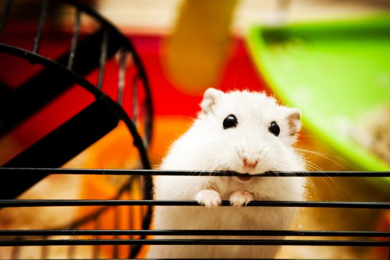 Hamster – History | Fun Facts| Breed | Advice