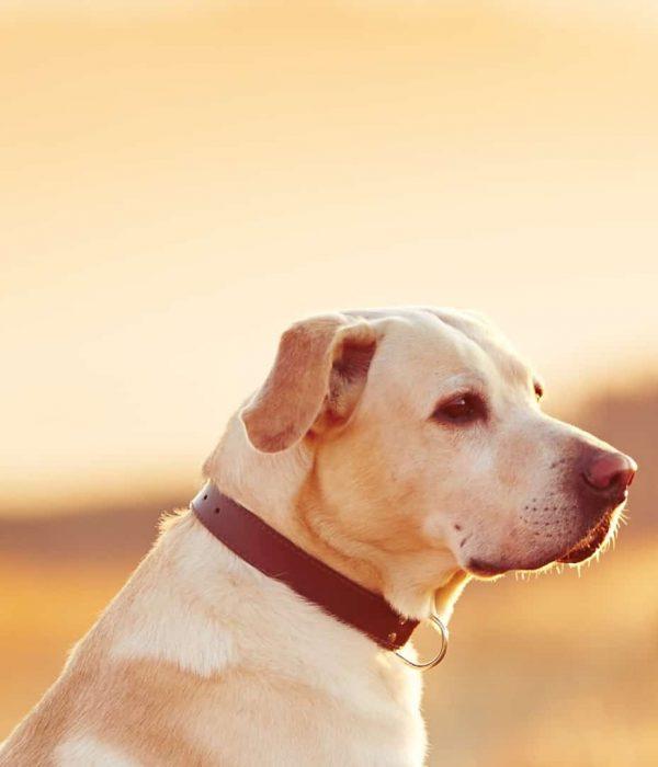 Best dog Flea collar 2020: Buying Guide