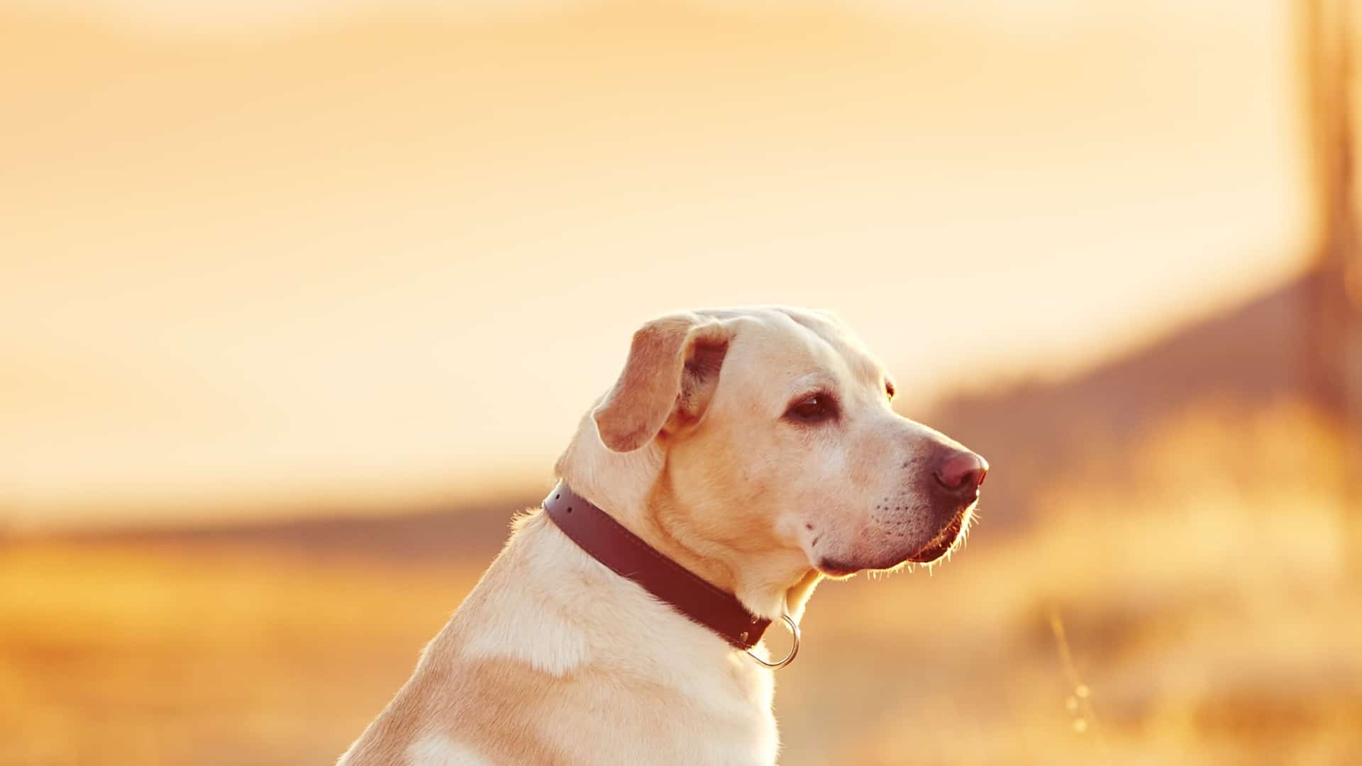 Best dog Flea collar 2020: Buying Guide