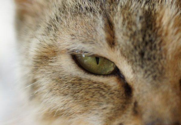 cat eye secretions