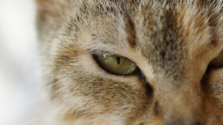 Eye secretions in cats: causes, symptoms and treatment