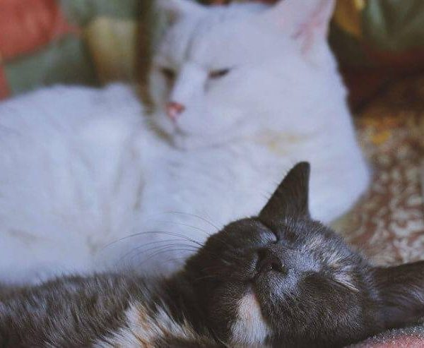Liver disease in cats and gallbladder problems: causes and remedies