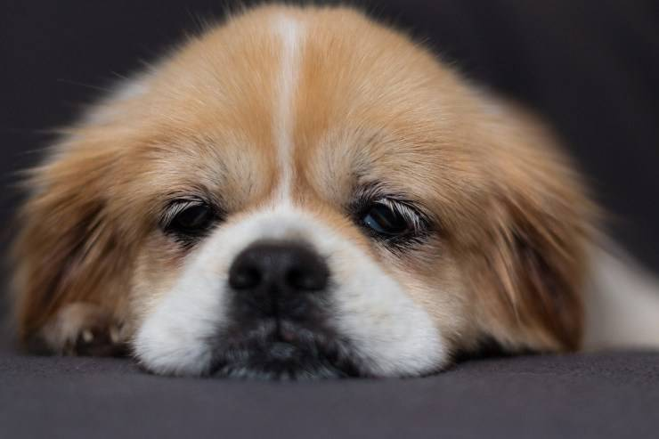 Mesothelioma in dogs: cause, symptoms and treatment