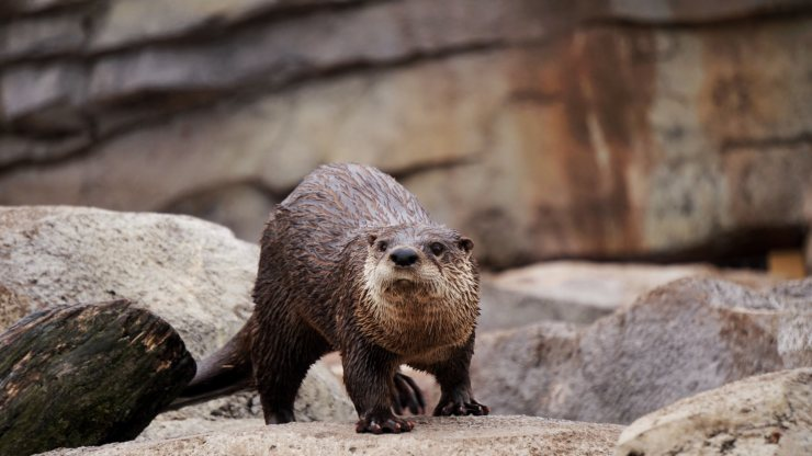 World Otter Day – Fun Facts (Increasingly Endangered)