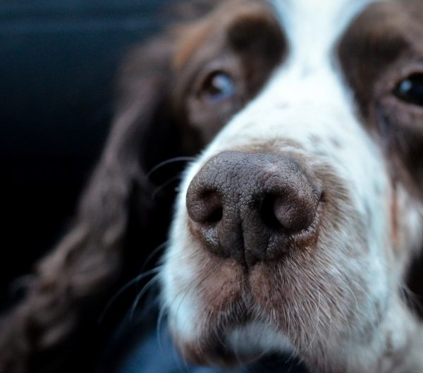 Hair loss in dogs no itching: Causes + Solutions (Old Dog)