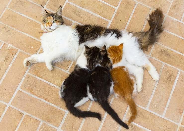 Cat behaviors to worry about: Female cat behavior in heat