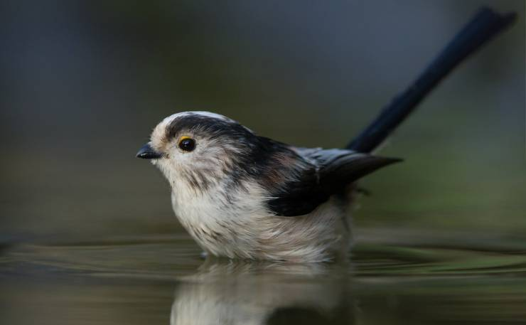 black-throated long tailed tit