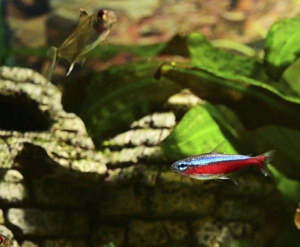 Paracheirodon axelrodi: Facts | Nutrition |Feature